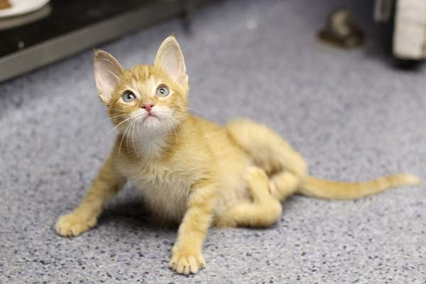 1409558436150 stockings2 Kitten Born With Backward Legs. These Images will Definitely Make You Emotional!