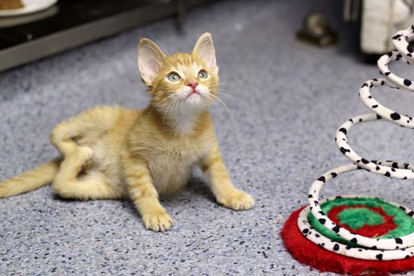 14095584362821 stockings Kitten Born With Backward Legs. These Images will Definitely Make You Emotional!