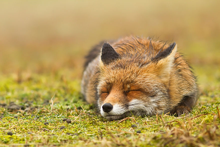 14095616903043 foxes roeselien raimond 13 Amazing Photoshoot Of Wild Fox Done By Roeselien Raimond!