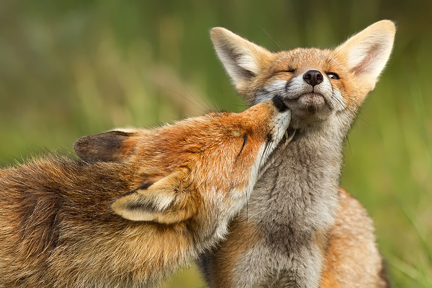 14095616911668 foxes roeselien raimond 7 Amazing Photoshoot Of Wild Fox Done By Roeselien Raimond!