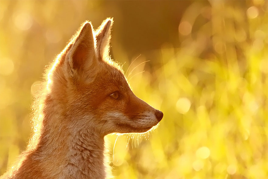 14095616913932 foxes roeselien raimond 6 Amazing Photoshoot Of Wild Fox Done By Roeselien Raimond!
