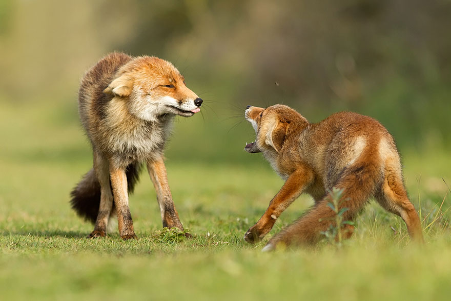 1409561692497 foxes roeselien raimond 8 Amazing Photoshoot Of Wild Fox Done By Roeselien Raimond!