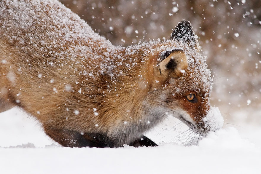 14095616936554 foxes roeselien raimond 19 Amazing Photoshoot Of Wild Fox Done By Roeselien Raimond!