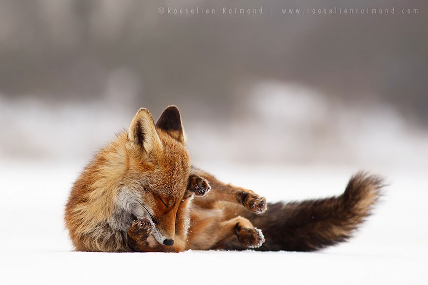 14095616937326 foxes roeselien raimond 24 Amazing Photoshoot Of Wild Fox Done By Roeselien Raimond!