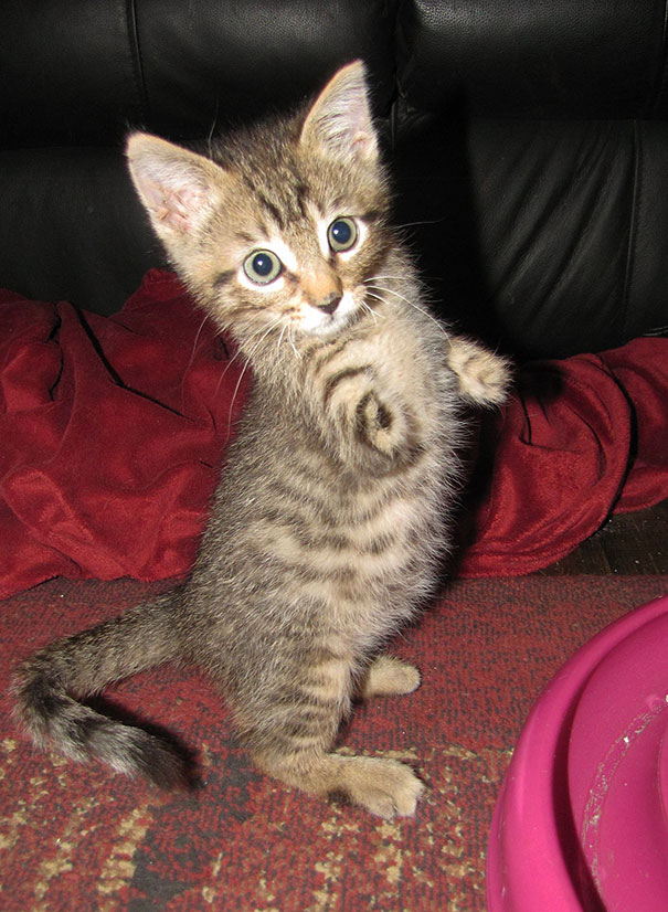 1409561696702 mercury two legged kitten 24 Handicapped yet so full of life. This kitten will definitely inspire you!!