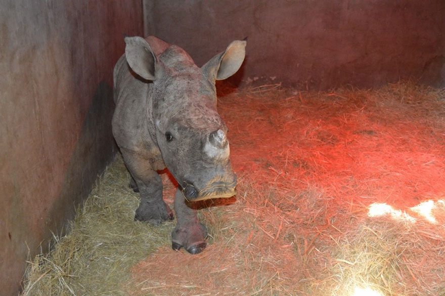 1409561781695 gertje baby rhino rescue hoedspruit endangered species centre 5 Baby Rhino Scared To Sleep Alone At Night After Losing Mother To Ruthless Poachers
