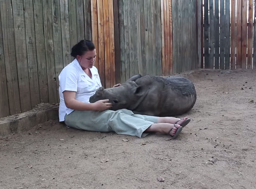 14095617825734 gertje baby rhino rescue hoedspruit endangered species centre 8 Baby Rhino Scared To Sleep Alone At Night After Losing Mother To Ruthless Poachers