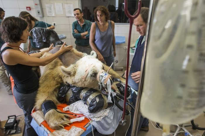 14096345802009 bear surgery 02 550 pound bear undergoes surgery. Check out these AMAZING pictures!