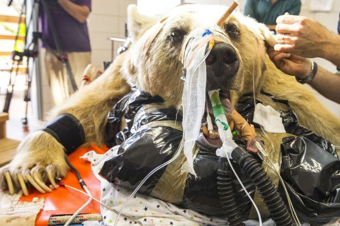 14096345815080 bear surgery 08 550 pound bear undergoes surgery. Check out these AMAZING pictures!