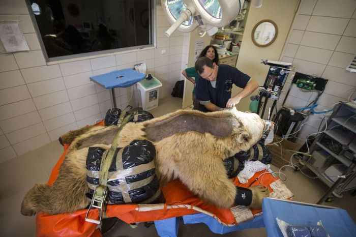 14096345815462 bear surgery 09 550 pound bear undergoes surgery. Check out these AMAZING pictures!