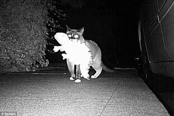 141547806231 desktop 1406688951 Neighbors Kept Getting Items Stolen Until They Caught The Weird Culprit: A Cat.