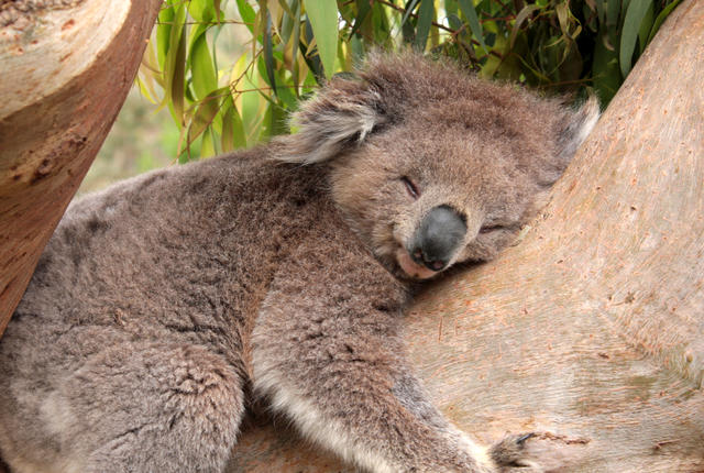istock 000008832098 small Why Are Koalas Always Hugging Tree Trunks?