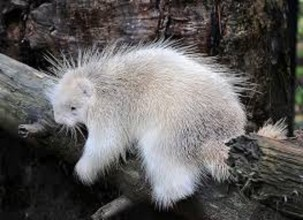 albino porcupine 1 303x220 22 Rare Genetically Abnormal Animals That Are Going To Surprise You