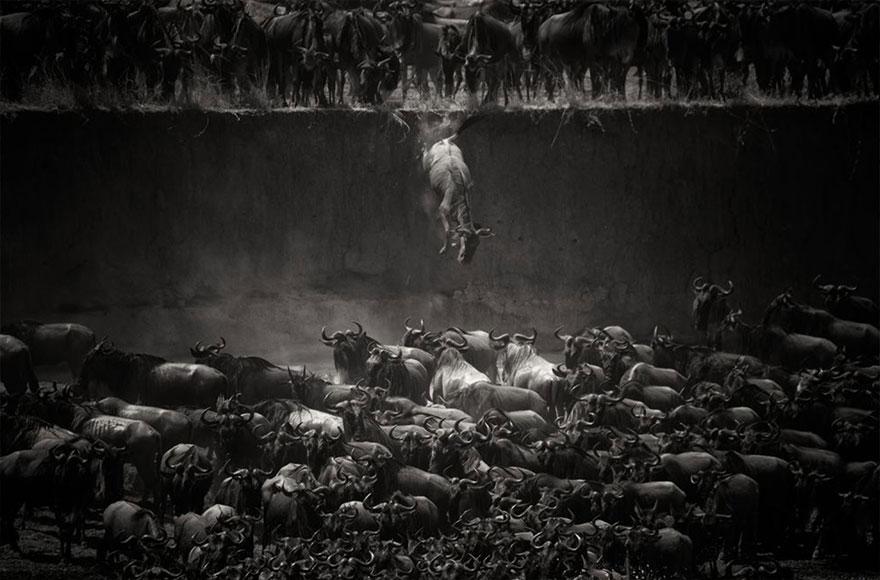 animal migration photography 1111  880 Top 20 Amazing Animal Migration Photos