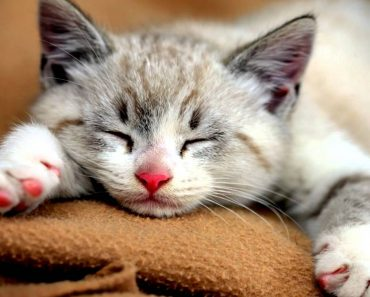Why and how do cats purr?