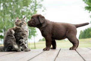 Why do dogs eat cat poop 303x202 Why do dogs eat cat poop?