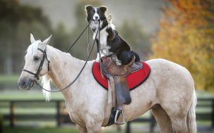 Are dogs smarter than horses 303x189 Are dogs smarter than horses?