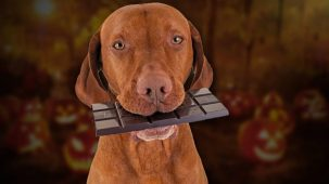 How much chocolate will kill a dog How much can it eat 303x170 Why is chocolate bad for dogs and How much of it will kill a dog?