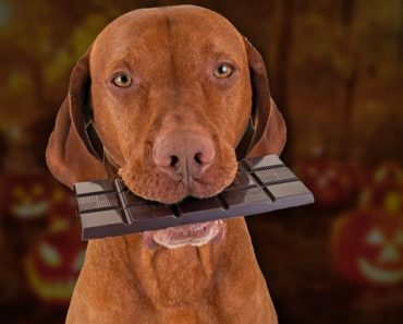 How much chocolate will kill a dog How much can it eat