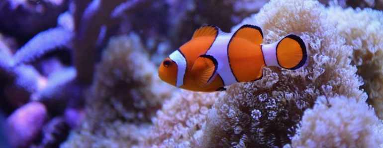 What Kind of Fish is Nemo